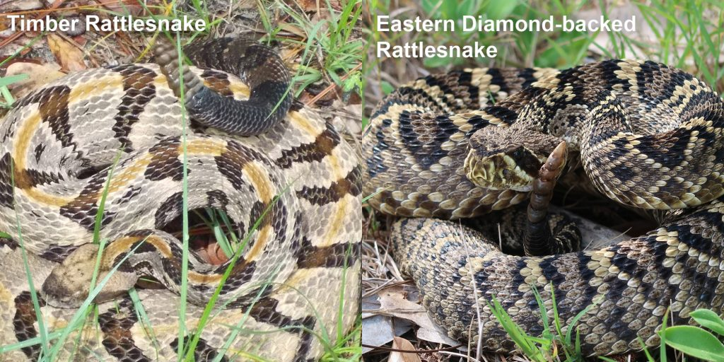 Side by side comparison of Eastern Diamond-backed rattlesnake and Timber rattlesnake