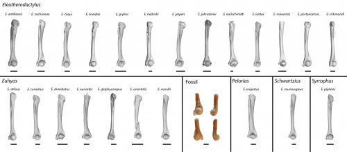 comparisons of fossil frog humerus to those from recent species