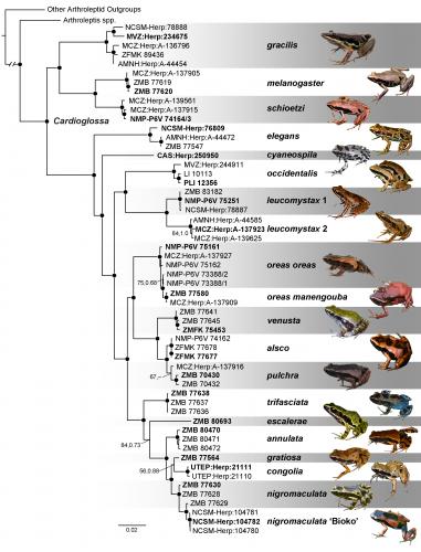 Phylogeny of frog genus <i>Cardioglossa</i>