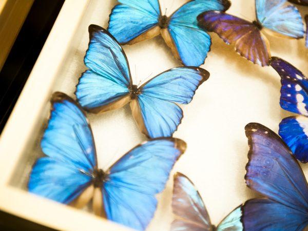 butterfly specimen drawer