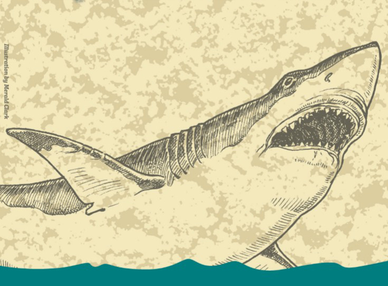 drawing of Megalodon