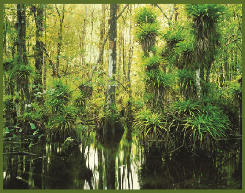 swamp with native Florida plants