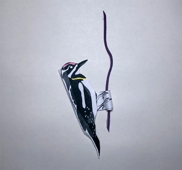 photo of Oscillating Woodpecker