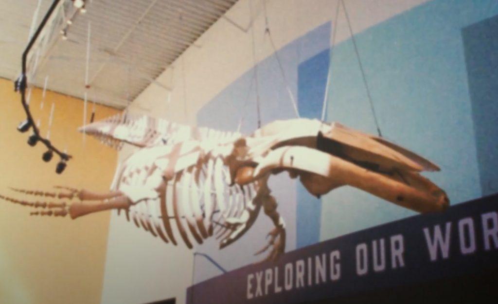 humpback whale skeleton hanging display