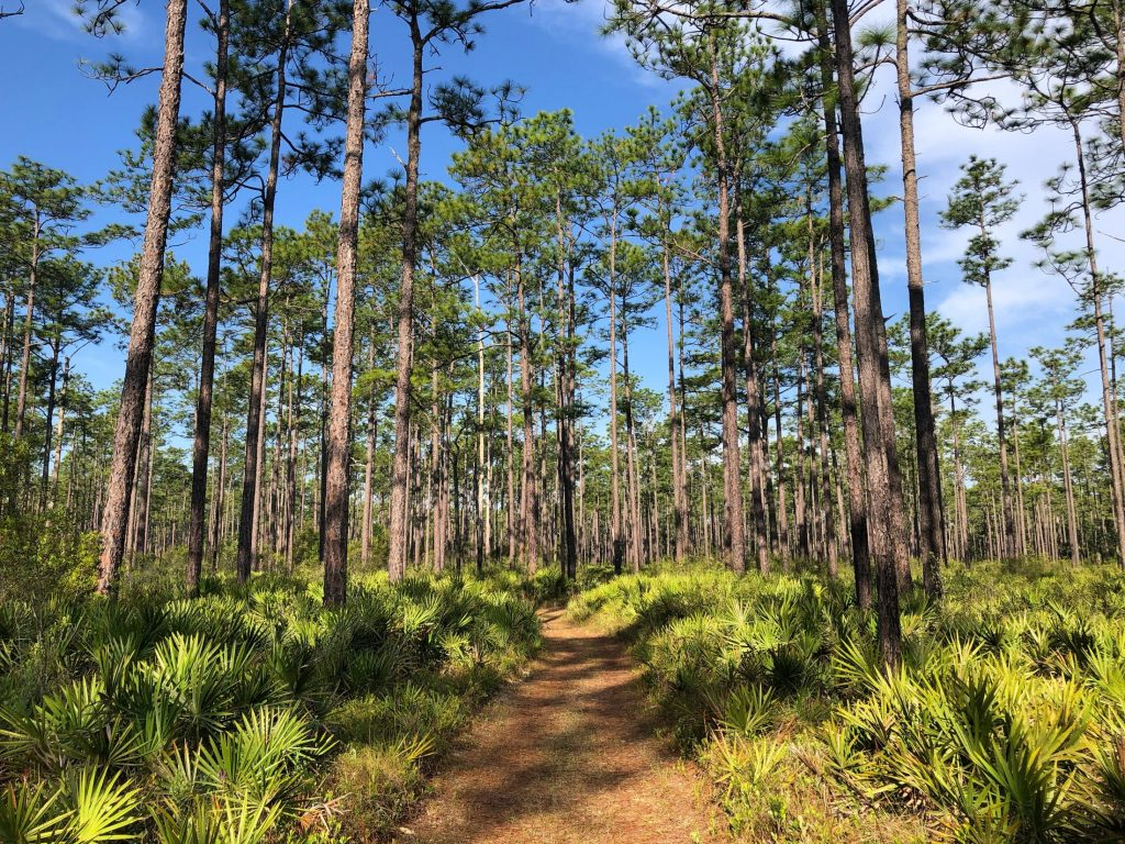 long bright trail with longleaf pines