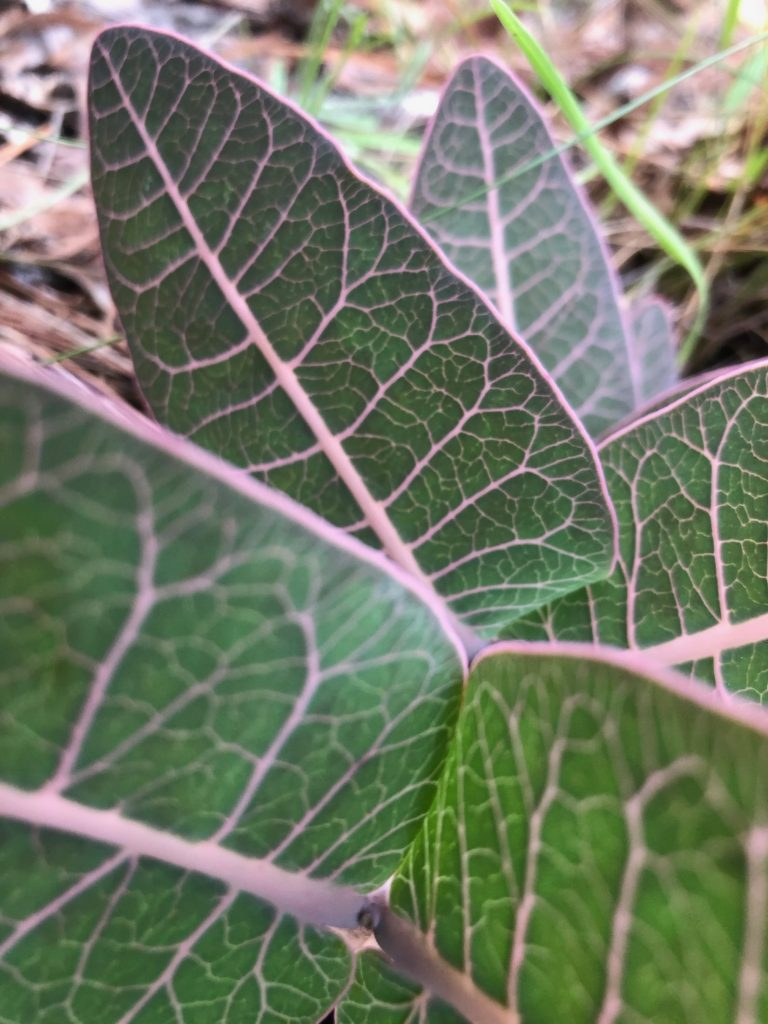 green leaves with purple veins