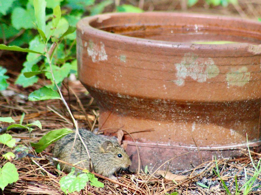 florida mouse next to flower pot