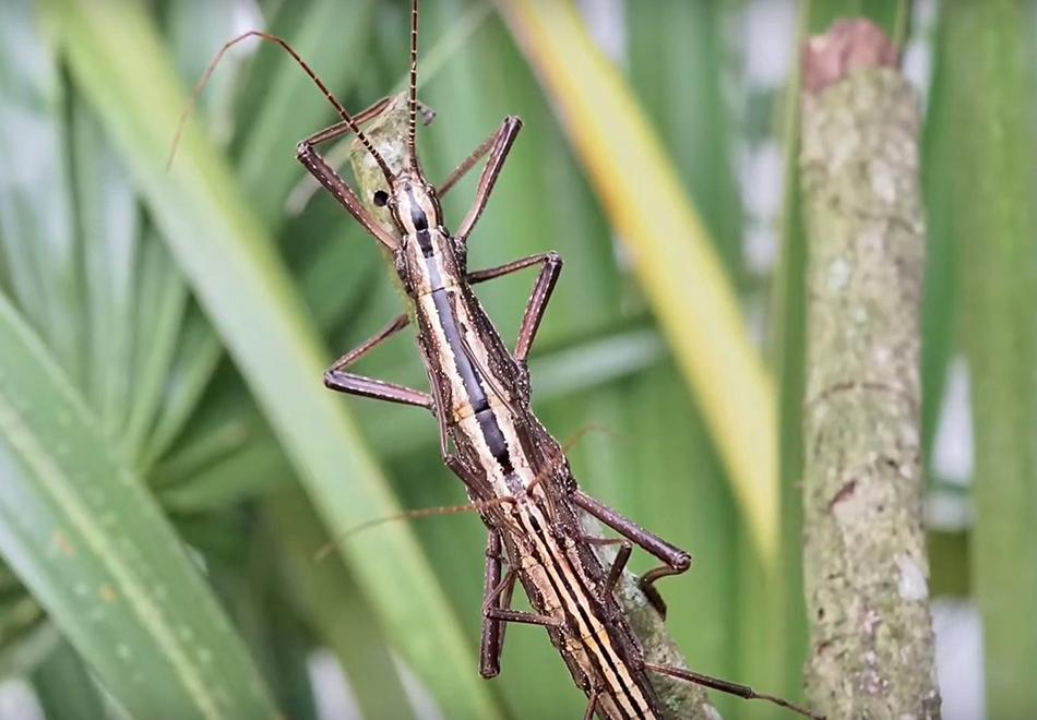 large stick-like bug