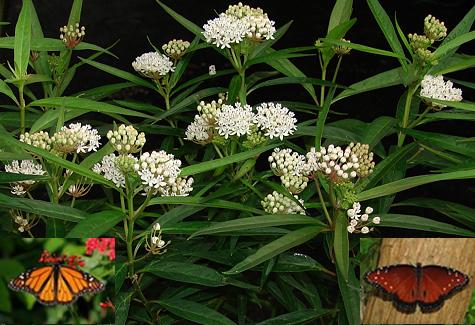 Aquatic Milkweed