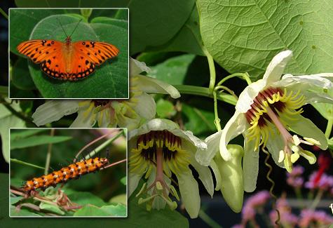Yucatan Passionflower