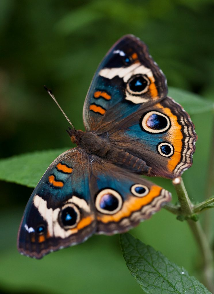 elaborate brown orange and blue butterfly on a leaf
