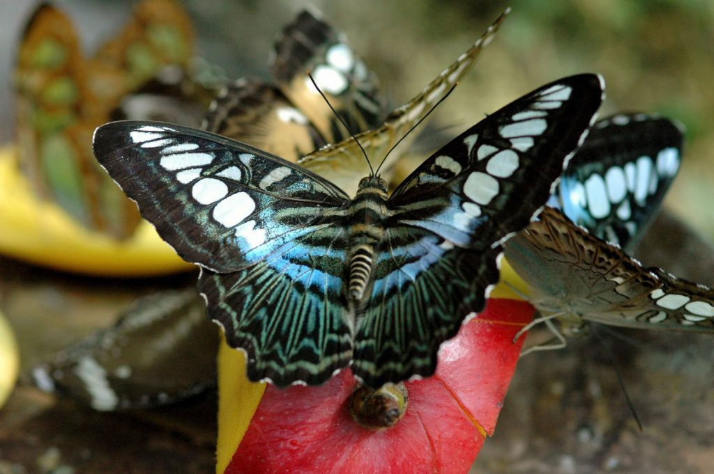 several brown and blue butterflies on a slice of fruit