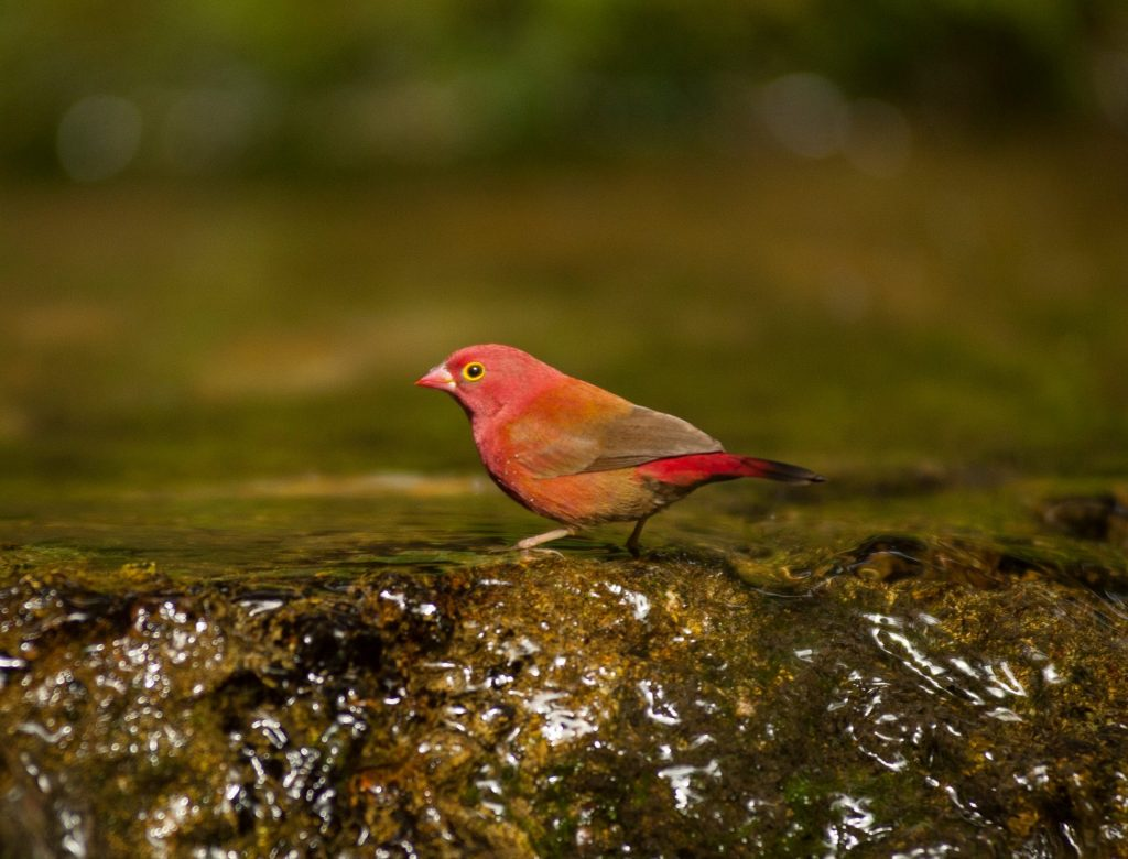 small red bird standing on a water covered rock