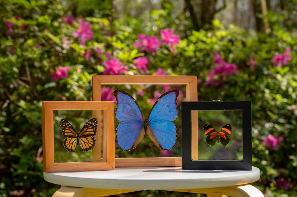 Three butterfly display frames