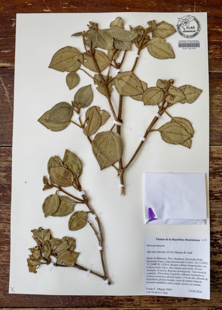 Dried Herbarium specimen