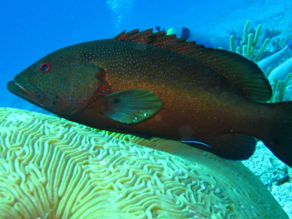 dark fish laying on large yellow hard coral