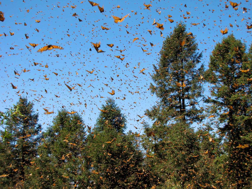 Monarchs taking flight
