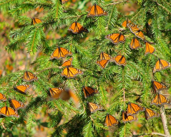 monarchs on fir tree