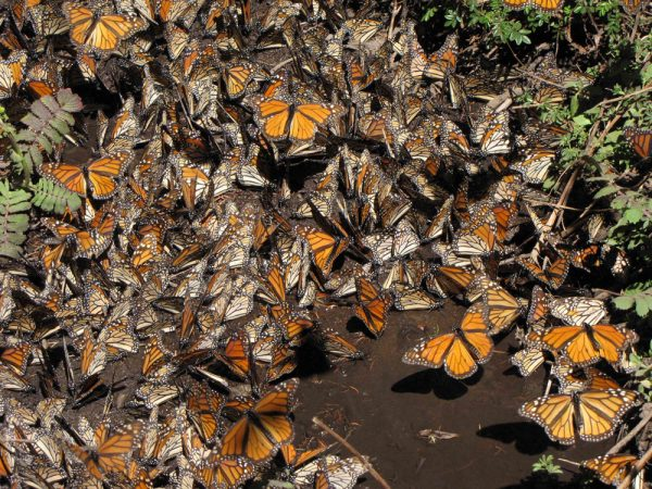flutter of monarchs
