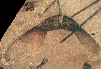 50-million-year-old fossil plant