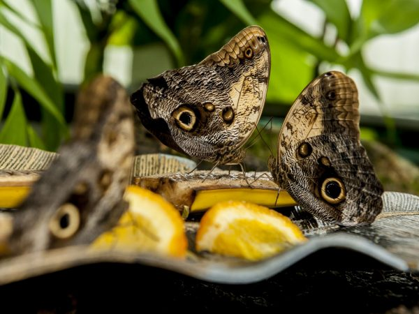 several brown butterflies on banans