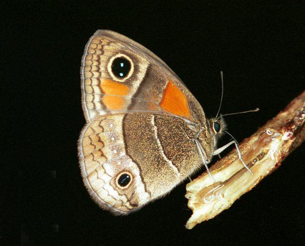 Calisto hysius