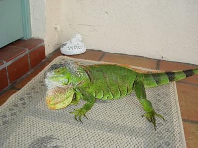 Iguana on front porch