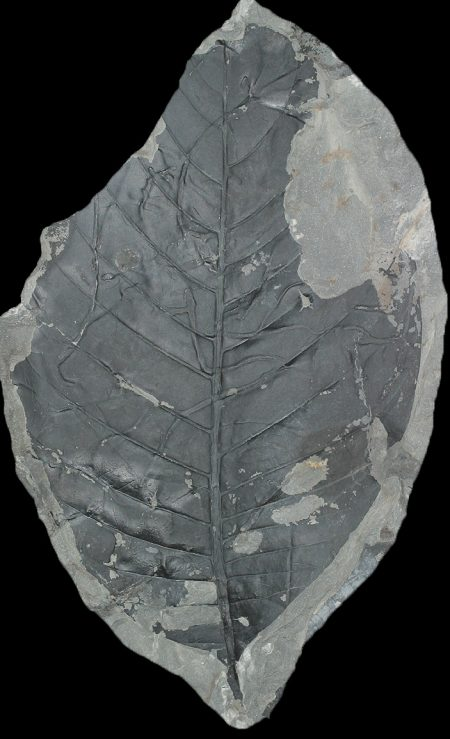 58-million-year-old fossil related to Sapotaceae