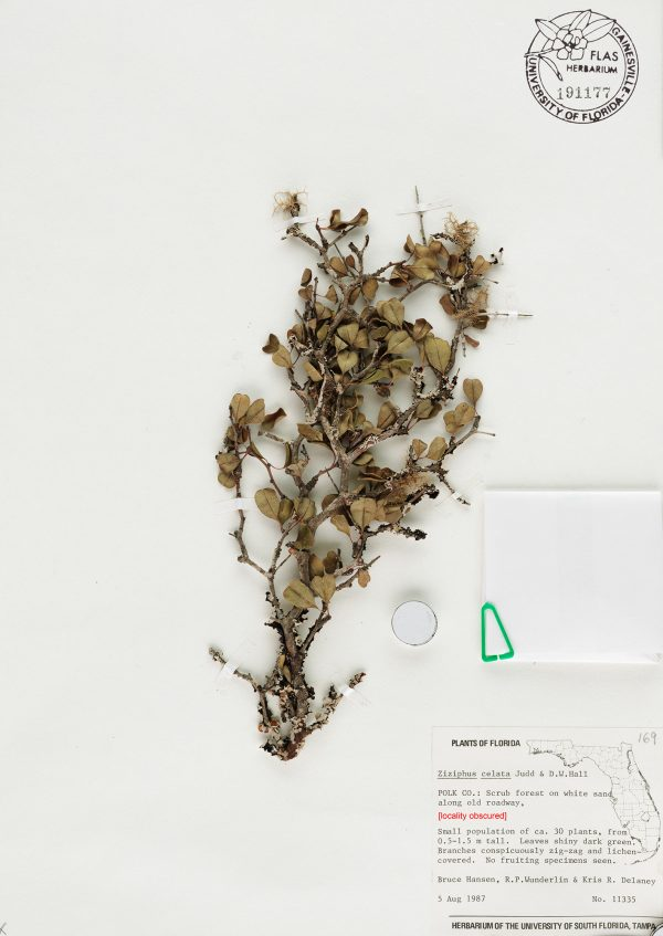 Extinct plant Ziziphus celata