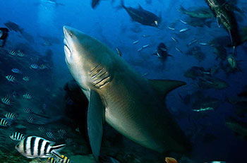 bull shark in fiji with fish