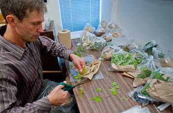 Andrei Sourakov preparing blackberry trimmings