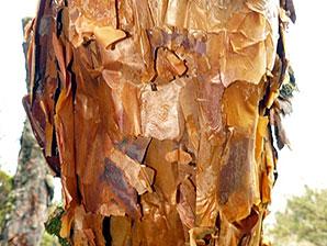Paper tree bark