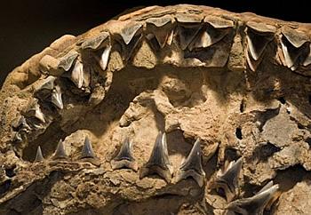 fossil shark skull