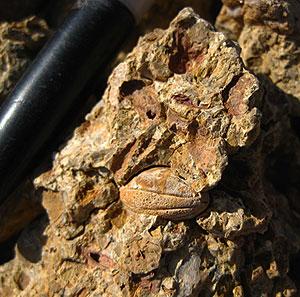 Humiriaceae seed fossil