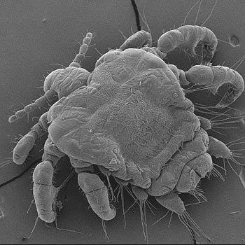 Human pubic louse