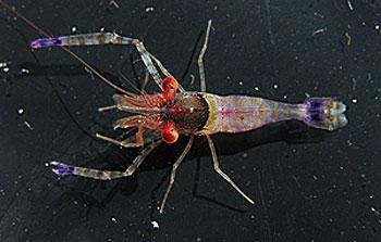 Moorea shrimp