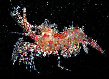 Moorea marble shrimp