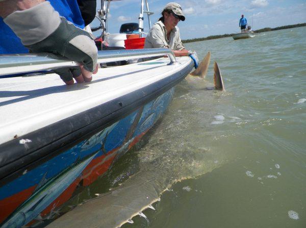 sawfish restrained alongside boat
