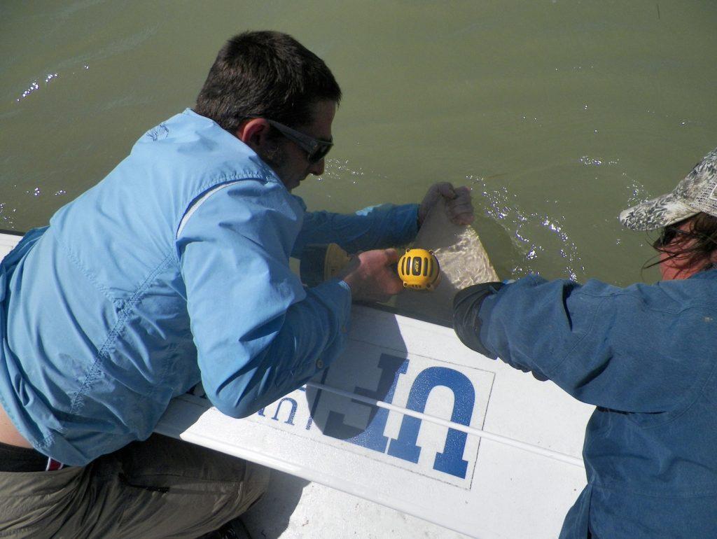 technicians tag sawfish
