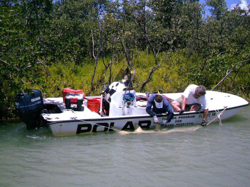 catching sawfish alongside boat