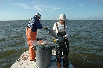 measuring a bonnethead shark