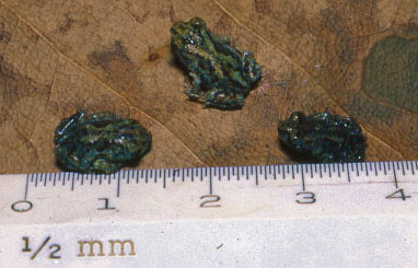 Baby spadefoot frogs