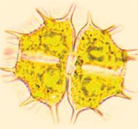 green algae in amber