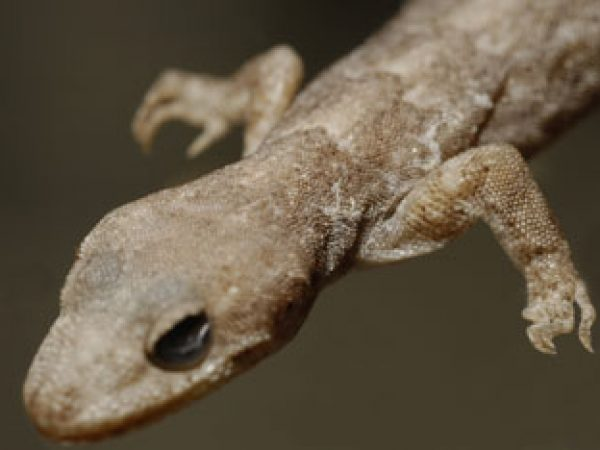 small brown gecko