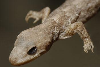 Bent toed gecko spcimen