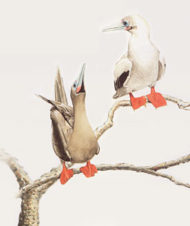 Red-footed booby illustration
