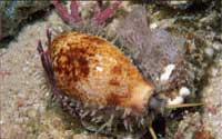 brown and white cowrie