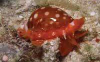 red speckled cowrie