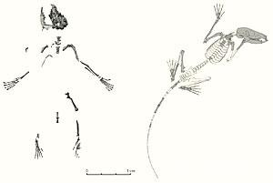 new species sketleton