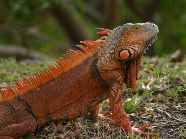 male iguana